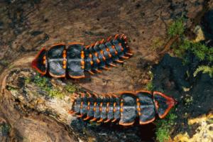 Trilobyte beetle