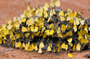 butterflies on dung