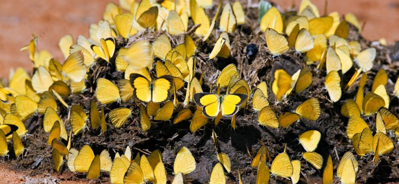 butterflies on dung