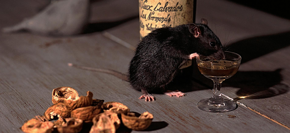 rat on a table
